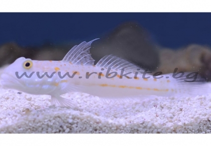 ORANGE SPOTTED GOBY