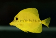 HAWAII YELLOW TANG  /ZEBRASOMA FLAVESCENS/